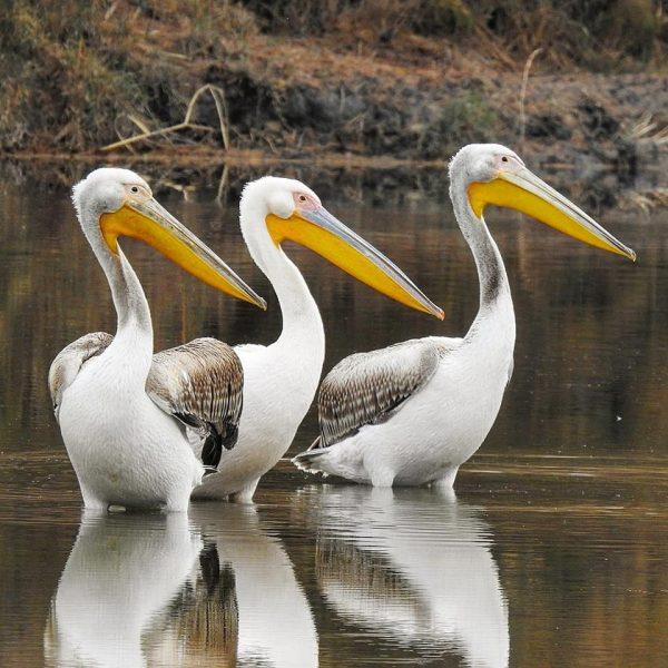 Azraq wetlands 11, ©Hazem Al Hreisha, RSCN
