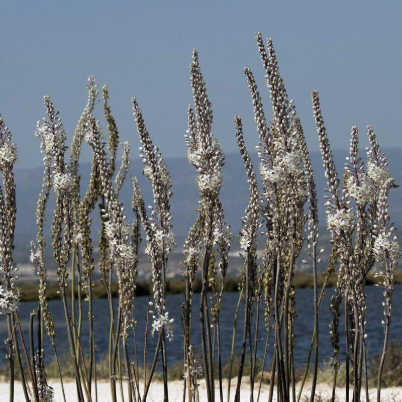 Drimia maritima, Delta Göksu, by Zeynel Cebeci, Wikimedia
